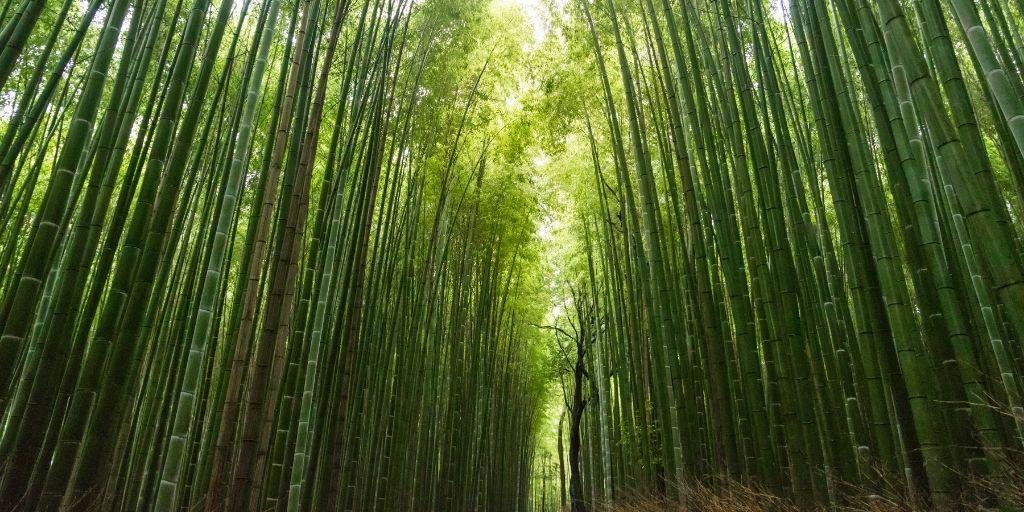 El bambú japonés no es apto para impacientes